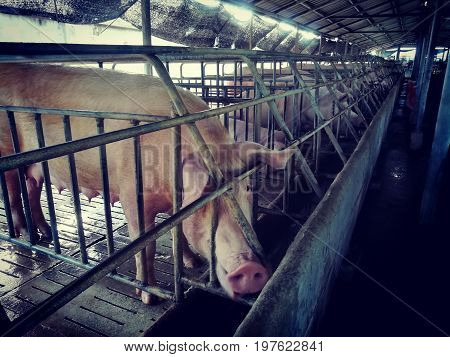 Sow in livestock farm. Animal in farm
