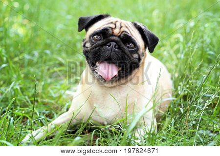 Cute dog lying on green grass