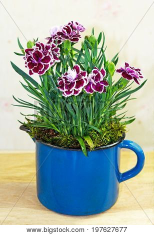 Sweet Williams Or Carnations In A Flowerpot.