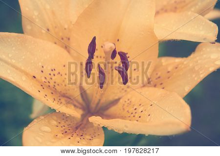 Yellow Lily Flower With Drops Of Dew On Petals, Macrophoto, Toned Image