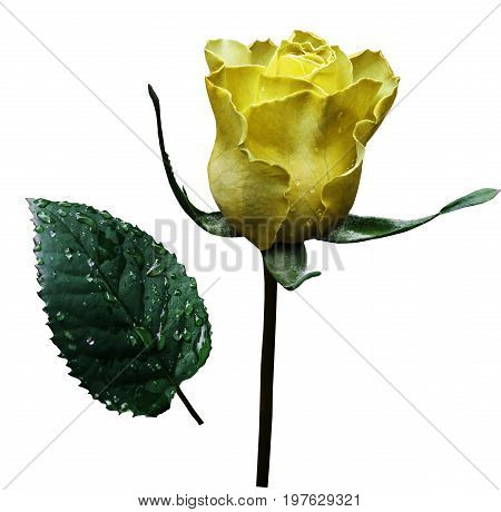 Yellow rose on white isolated background with clipping path. No shadows. Closeup. A flower on a stalk with green leaves after a rain with drops of water. For flowers design. Side view. Nature.
