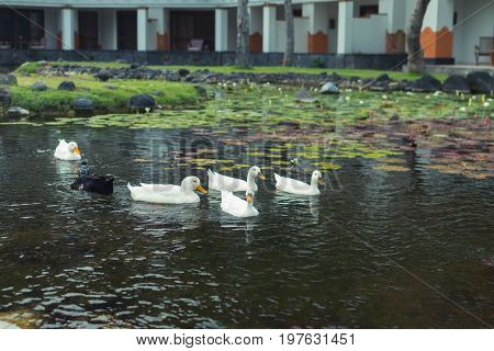 White geese in the lake, farmyard goose. Park of Nusa Dua, Bali island.