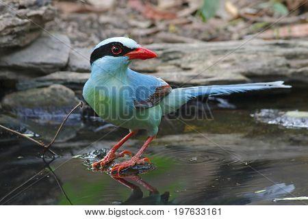 Common Green Magpie Cissa Chinensis Cute Birds Of Thailand