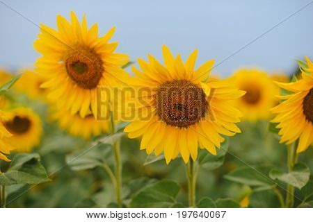 Field Of Sunflowers. And Close Up Of Sunflower At Sunset. Nature Background. A Beautiful Sunflower F