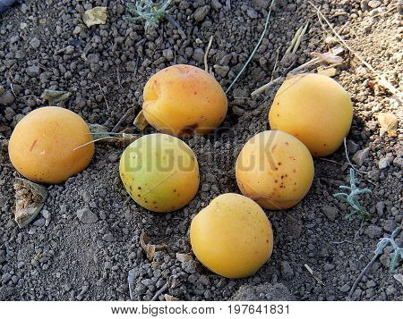 Drying natural organic apricot fruit in home environment, drying apricot to make compost