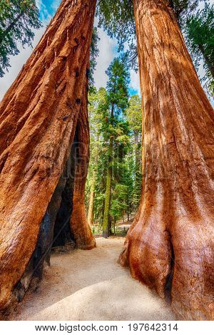 Two Giant Sequoia trees (sequoiadendron giganteum) in Sequoia National Park, California, USA. HDR