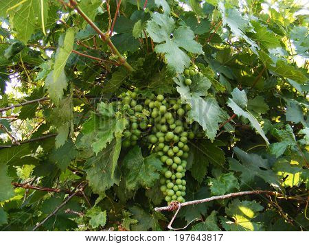 Unripe grapes, very sour grapes, grape fruit grape vines,