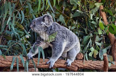 Koala Walking On A Tree Branch