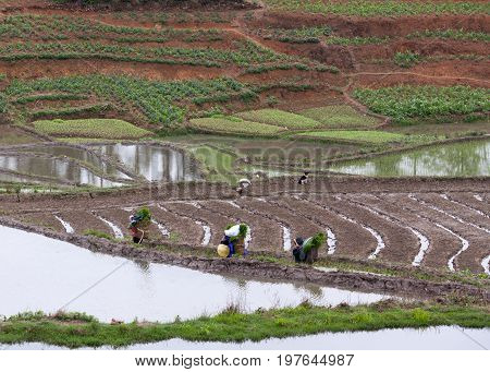 Harvesting over terraced rice fields in Yuanyang, Yunnan, China. Yuanyang county lies at an altitude ranging from 140 along the Red River up to nearly 3000 metres above sea level in Ailao mountains.