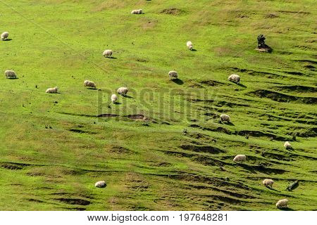 Sheep On A Hill In New Zealand