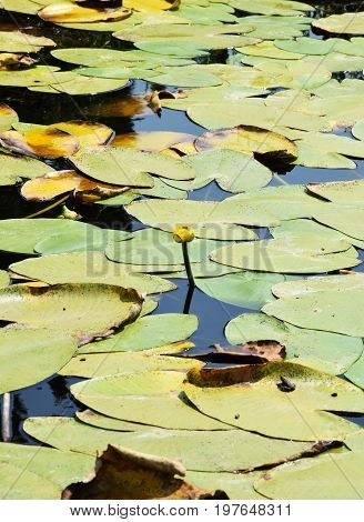 Water lily leaves on the water's surface