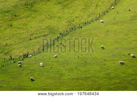 A Herd Of Sheep Scattered On A Hill In New Zealand. Photo Taken From Another Hill With Telephoto Len