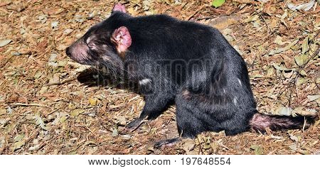 Wild Tasmanian Devil