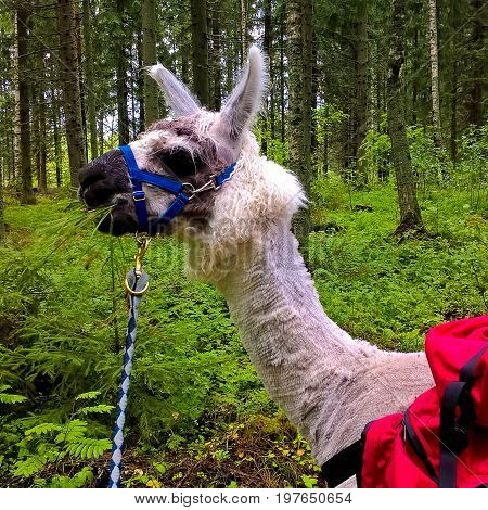 An alpaca in the Finnish forest during a tourist safari