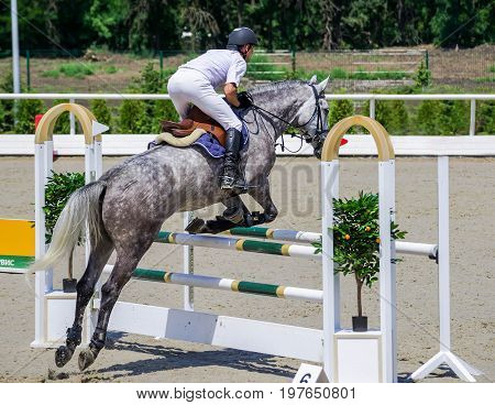 Rider on gray horse in jumping show, equestrian sports. Dappled gray horse and rider in white shirt over a jump. Hot, shiny day.
