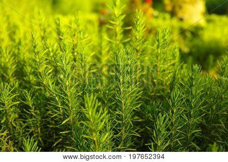 Rosemary (rosmarinus Officinalis) Woody Perennial Herb Plant