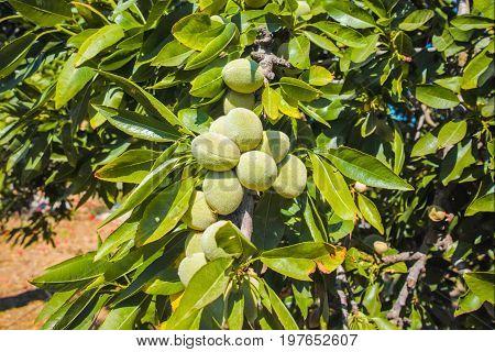 New Harvest Of Almonds, Almonds On The Tree, Almonds Nut Plantation, Sicily, Italy