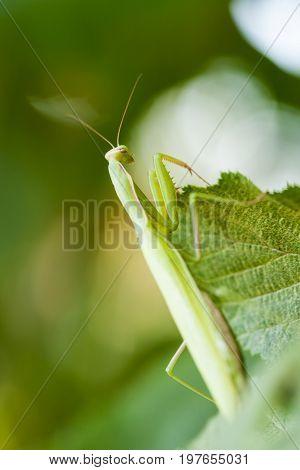 Young European Mantis or Praying Mantis Mantis religiosa crawling on green leaf