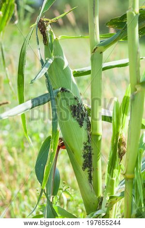 Aphids feed on sap of green corn while ants collect honeydew from of aphids like farm animals