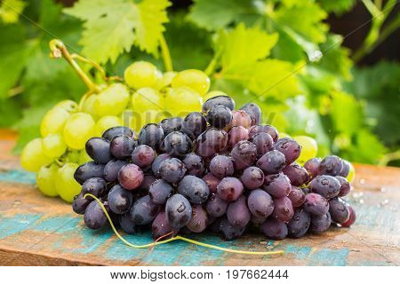 Healthy Fruits Red And White Wine Grapes In The Vineyard, Dark Grapes/ Blue Grapes/wine Grapes,  Bun