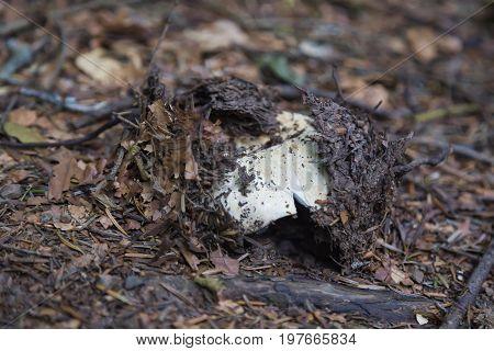 Mushroom Peeking Out Of The Ground