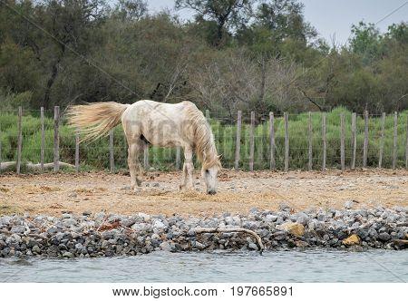 White Horses At Camargue Park On Delta Rhone River, France