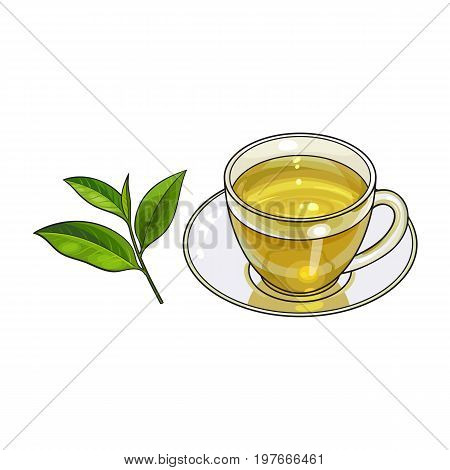 Transparent glass cup, saucer and fresh green tea leaf, sketch vector illustration isolated on white background. Hand drawn glass mug and saucer set with green tea leaf