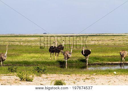 African ostrich near water. Amboseli, Kenya. Eastest Africa
