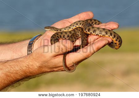 snake, known as Natrix tessellata, in man's hands on river and green plants background  in the rays of the setting sun