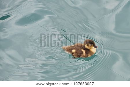 Baby duckling swimming in river