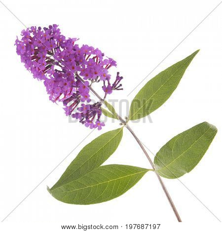Purple butterfly bush isolated over white background