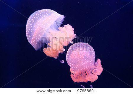 Two pink barrel jellyfish swimming in the dark water