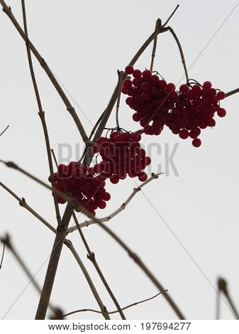 The image of berries of viburnum against the background of grey sky