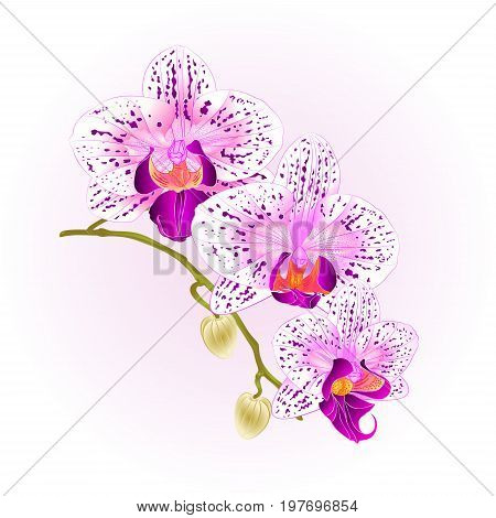 Beautiful Orchid purple and white Phalaenopsis stem with flowers and buds closeup vintage vector editable illustration hand draw