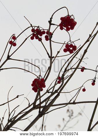 Berries of viburnum against a grey sky background.