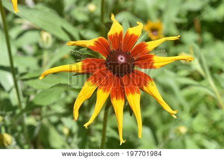 Breathtaking Yellow and Brown Black Eyed Susan
