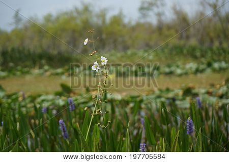 white swamp flower in lily pads - arrowhead flower (Sagittaria latifolia) in the Florida Everglades