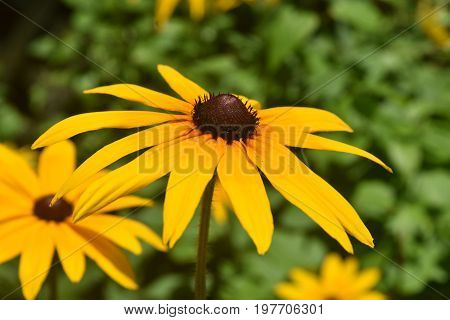 Pretty Close Up of a Poor Land Daisy Blooming