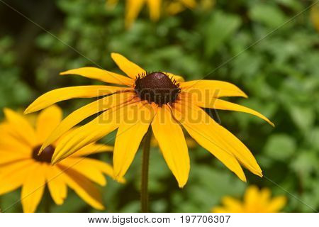 Pretty Yellow Ox Eye Daisy in Nature