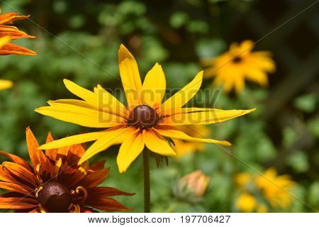 Pretty Black Eyed Susan Daisies in Nature