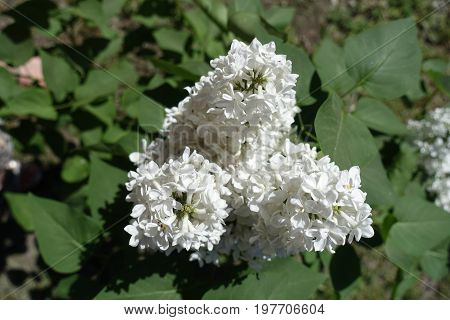 Panicles Of White Tubular Flowers Of Lilac