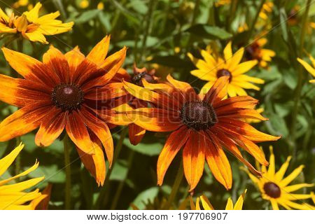 Breathtaking Yellow and Brown Poor Land Daisies