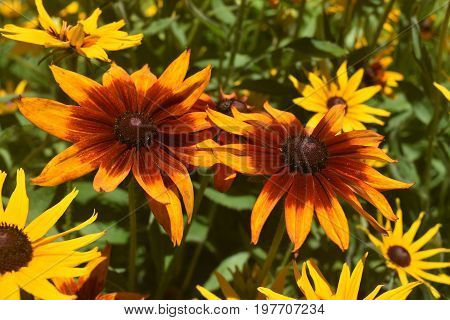 Amazing Close Up of Poor Land Daisies