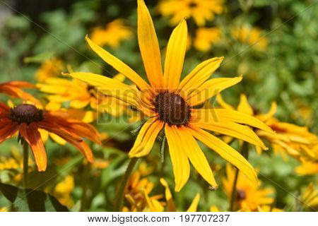 Amazing Poor Land Daisy Up Close In Nature