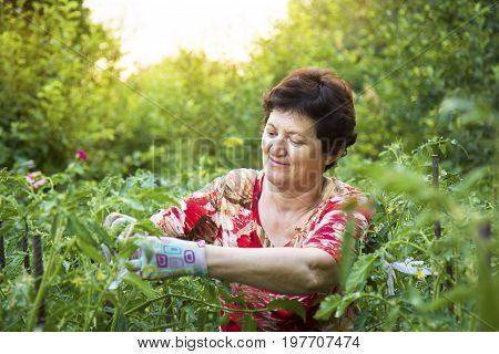 Senior woman working in a vegetable garden tying up tomatoes