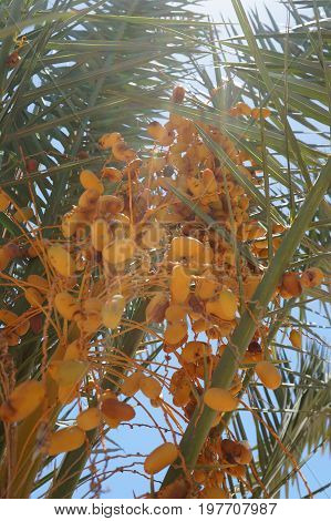 Ripe yellow dates on the palm tree, beautiful sunbeams, selective focus on the date