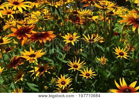 Stunning Yellow and Brown Black Eyed Susans in Nature