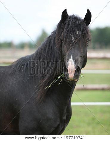 Amazing Black Stallion On Pasturage