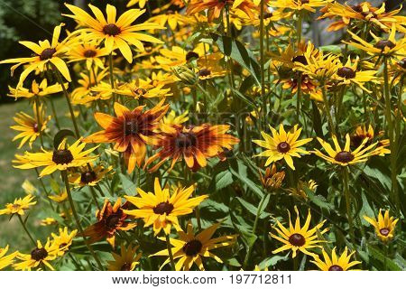 Marvelous Colors on these Black Eyed Susans