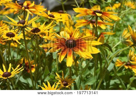 Stunning Black Eyed Susans Blooming In a Garden